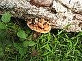 Fungi-85-rose garden-yercaud-salem-India.jpg