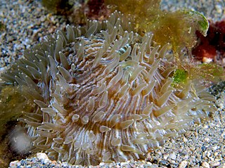 http://upload.wikimedia.org/wikipedia/commons/thumb/9/90/Fungia_valida_%28Mushroom_coral%29.jpg/320px-Fungia_valida_%28Mushroom_coral%29.jpg?uselang=fr