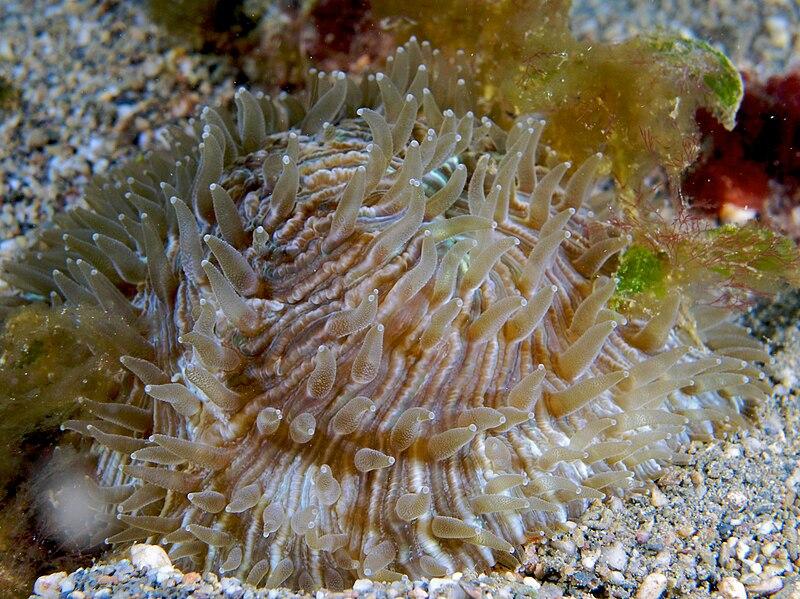 Fungia valida (Mushroom coral)