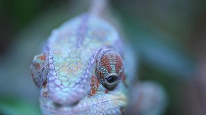 ملف:Furcifer pardalis moving eyes.ogv