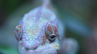 Furcifer pardalis moving eyes