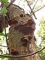 Fuscoporia gilva (Schwein.) T. Wagner & M. Fisch 729575.jpg