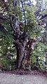 Göygöl gölünə gedən yolda qədim ağac.jpg