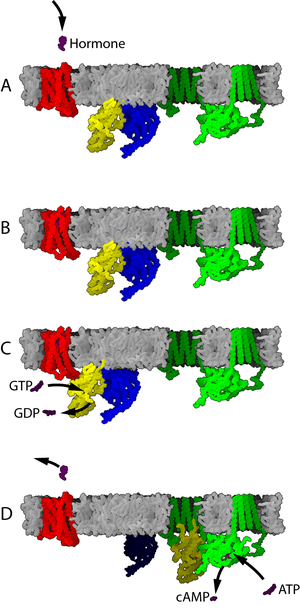 g protein coupled receptors