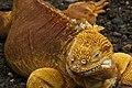 Galápagos land iguana (4228268273).jpg