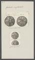 Galerites sexfasciatus - - Print - Iconographia Zoologica - Special Collections University of Amsterdam - UBAINV0274 106 08 0011.tif