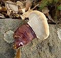 Ganoderma lucidum (36881026643).jpg