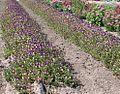 Garden Pansy (Viola x wittrockiana).jpg