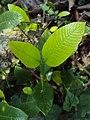 Gardenia gummifera 12.JPG