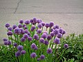 Garlic Chives Moncton (8398666632).jpg