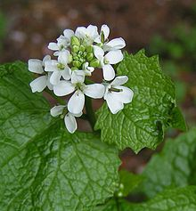 Alliaria petiolata - Wikipedia, the free encyclopedia