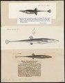 Gasterosteus spinachia - - Print - Iconographia Zoologica - Special Collections University of Amsterdam - UBA01 IZ12900013.tif