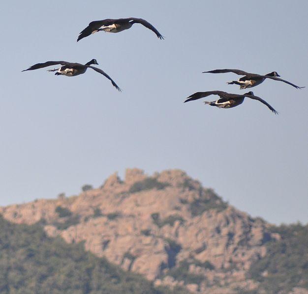 File:Geese flying near mount scott vertical.JPG