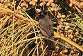 Gelbsteißbülbül - Pycnonotus xanthopygos 02.jpg