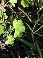 Geranium rotundifolium sl15.jpg