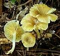 Gerronema strombodes (Berk. & Mont.) Singer 531799.jpg