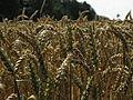Getreide Weizen IMG 1702.JPG