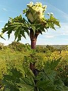Giant hogweed - geograph.org.uk - 192725.jpg