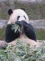 Giant panda, Chongqing Zoo, China.JPG