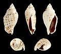 Gibberulus gibbosus 01.JPG