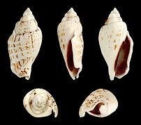 Gibberulus gibbosus 01