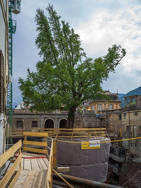 File:Ginkgo Palais Campofranco Bozen.jpg
