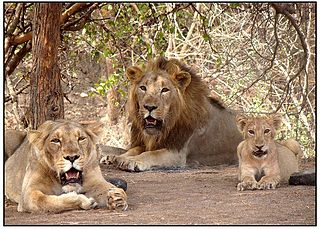 Gir National Park Forest and wildlife sanctuary in Gujarat, India. The only natural habitat of the Asiatic Lion