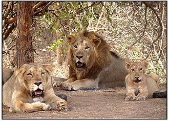 Gir Forest National Park - Family of Asiatic lions at Gir Forest National Park