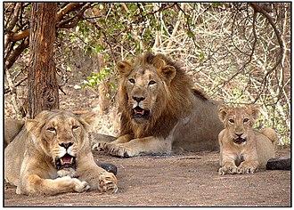 Gir National Park - Family of Asiatic lions at Gir National Park