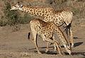 Giraffe, Giraffa camelopardalis at Mahone Loop, Punda Maria, Kruger National Park, South Africa (20810766462).jpg