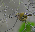 Goldcrest, eating the silver birch buds (11585923184).jpg
