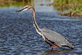 Goliath Heron, Ardea goliath at Marievale Nature Reserve, Gauteng, South Africa (43682833130).jpg