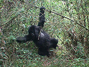 Conservation in Uganda - An endangered Mountain gorilla.