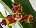 Grammangis ellisii -香港青松觀蘭花展 Tuen Mun, Hong Kong- (17668633440).jpg