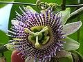 Granadilla (Passiflora ligularis) - Flickr - Alejandro Bayer (1).jpg