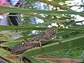Grasshopper, Kefalonia (16584020503).jpg