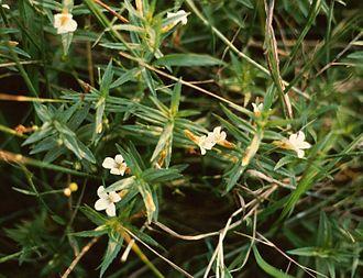 Gratiola - Gratiola officinalis