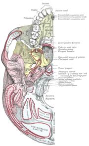 Horizontal Plate Of Palatine Bone Wikipedia