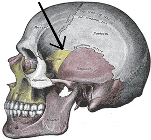 Pterion - Side view of the skull with arrow pointing to the Pterion