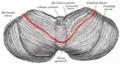 Gray702 primary fissure of cerebellum.png