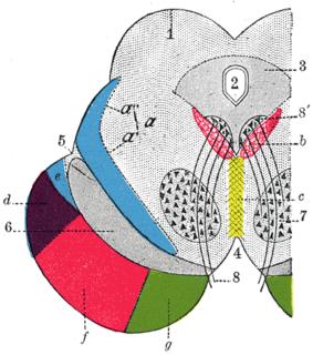 Rostral interstitial nucleus of medial longitudinal fasciculus