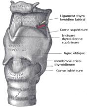 Gray951-Cartilages larynx - Vue antérieure.png