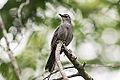 Gray Catbird (9053010661).jpg
