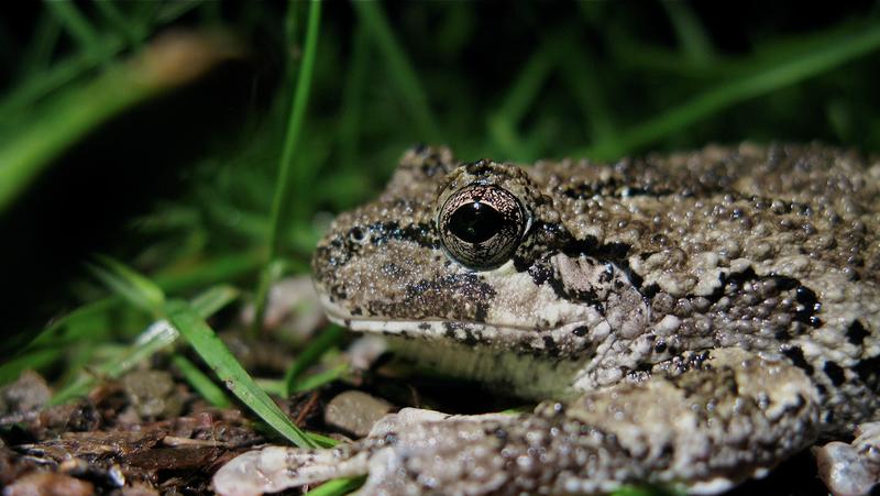 File:Gray treefrog (5880283421).png