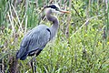 Great Blue Heron (16895198806).jpg