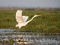 Great Egret (19400932353).jpg
