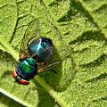 Green Bottle Fly (Lucilia sp.) (7703204850).jpg