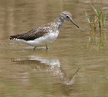 Green Sandpiper (Tringa ochropus)- In Breeding plumage at Bharatpur I IMG 5504.jpg