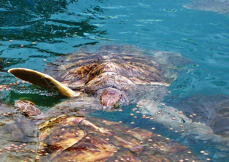 Green Turtles Feeding