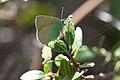 Green butterfly (8458397976).jpg